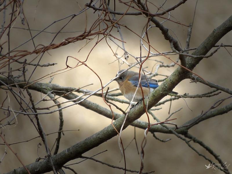 IMG_5098EasternBluebird