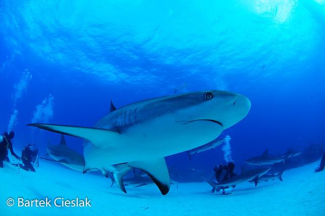 Bahama's Sharks