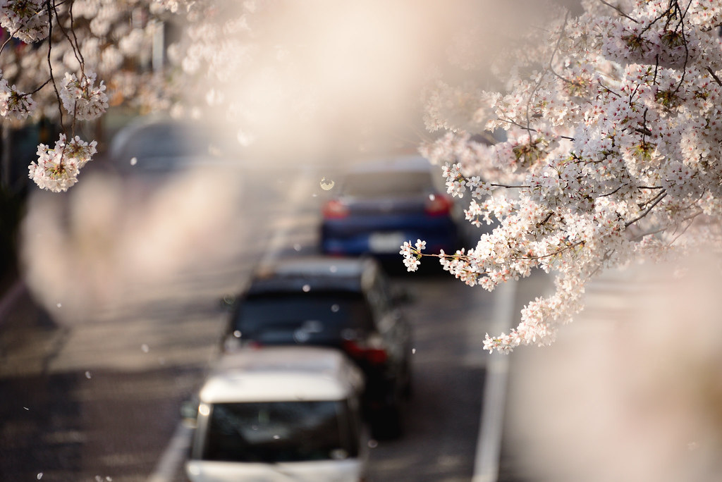 Cherry blossoms at Nakano avenue