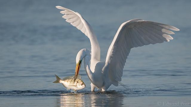 Great Egret (Ardea alba), Nikon D500, Sigma 150-600mm F5-6.3 DG OS HSM   S
