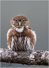 Northern Pygmy Owl 作者 Pius Sullivan