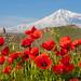 Spring in Ararat valley by yuriye