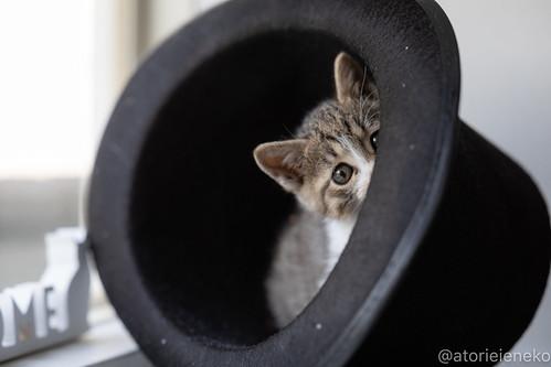 アトリエイエネコ Cat Photographer 41583672932_35f93d6119 1日1猫!高槻ねこのおうち_こちらもキュートな女の子♪ 1日1猫!  高槻ねこのおうち 里親様募集中 猫写真 猫 子猫 大阪 初心者 写真 保護猫 スマホ キジ猫 カメラ Kitten Cute cat