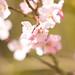 Spring Blossom 2018 by Adam Swaine