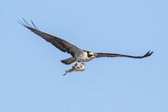 Osprey Inflight with a Flounder