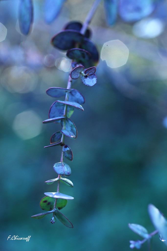 Flickr photos tagged eucalyptus | Picssr