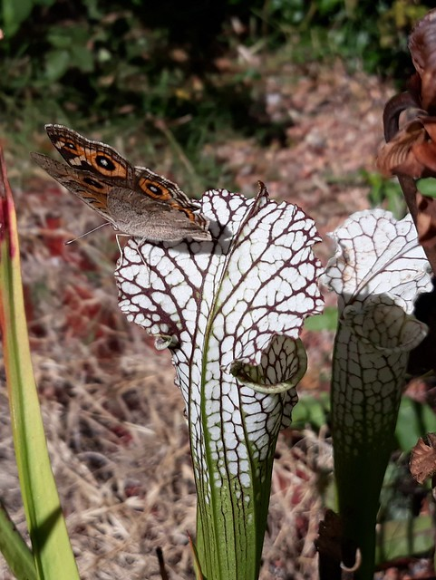 Meadow argus butterfly (Junonia villida calybe) feeding on a white-topped pitcher plant (Sarracenia leucophylla)
