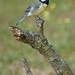 Carbonero común (Parus major)