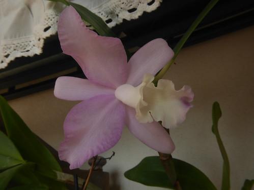 orchidées - floraisons du moment 2018 - Page 2 27024047998_9efbb1fff1