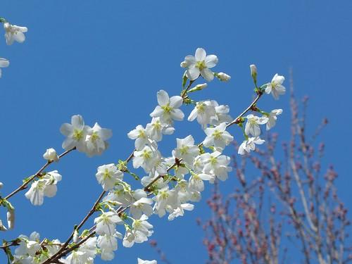 緑桜(緑がく桜)
