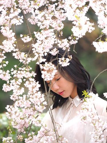 Kyoto cherry tree full bloom
