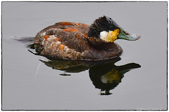 Ruddy Duck in New York Central Park