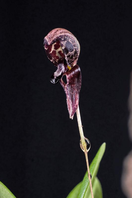 Miniatur-Orchideen Teil 4 - Seite 6 39350927210_3716c4df7f_c