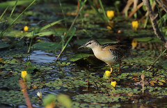Yellow breasted crake