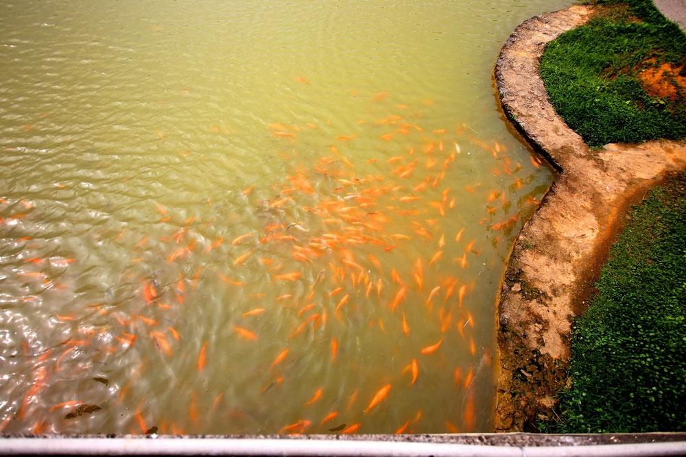 Hồ Hóc Trai có rất nhiều cá sinh sống.