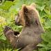 Small photo of Kodiak bear juvenile