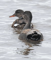 Pair of Gadwall Ducks - Druridge