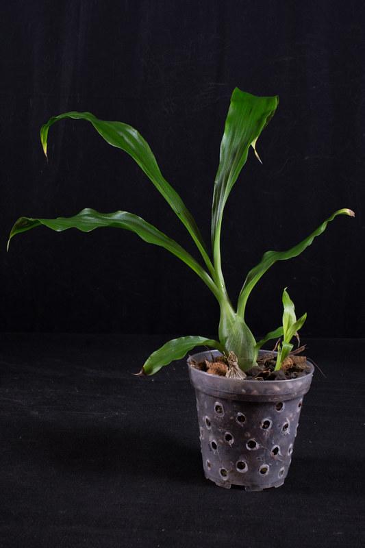 Orchideen-Neuzugang 2 40283300254_df277d94fd_c