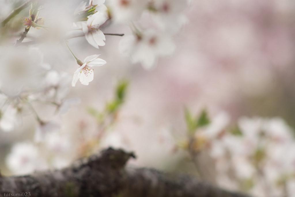 2018-04-06 秩父の桜 001-4