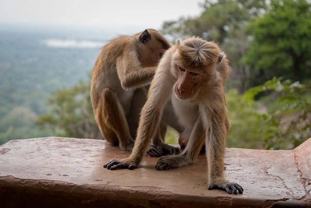 Affen auf dem Sigiriya-Felsen
