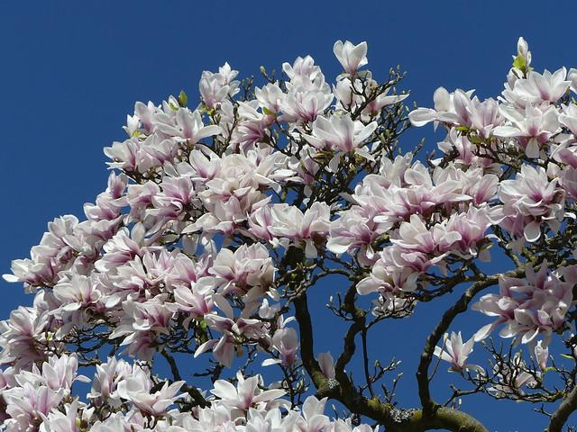 Magnolienblüte Wilhelma