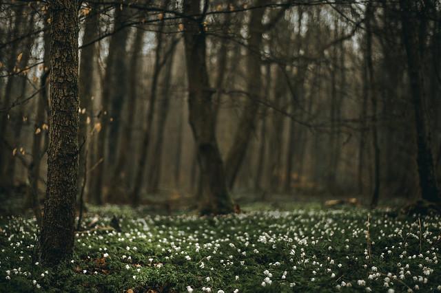 Blühender Wald, Nikon D700, AF Nikkor 50mm f/1.8