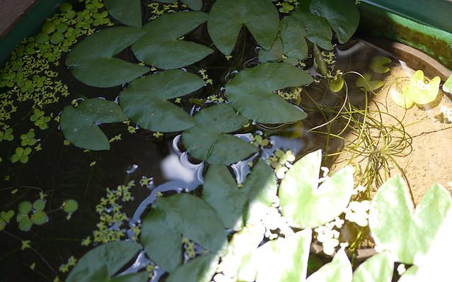 1ヒツジグサ 未草 睡蓮 水生植物 Nymphaea tetragona Georgi