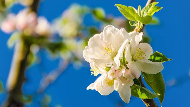 Apfelblüte_039