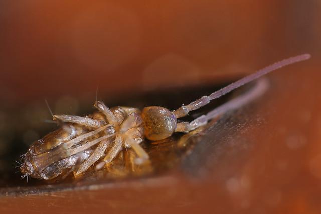 Tomocerus vulgaris male