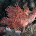 Small photo of Weedy scorpionfish (Rhinopias frondosa)