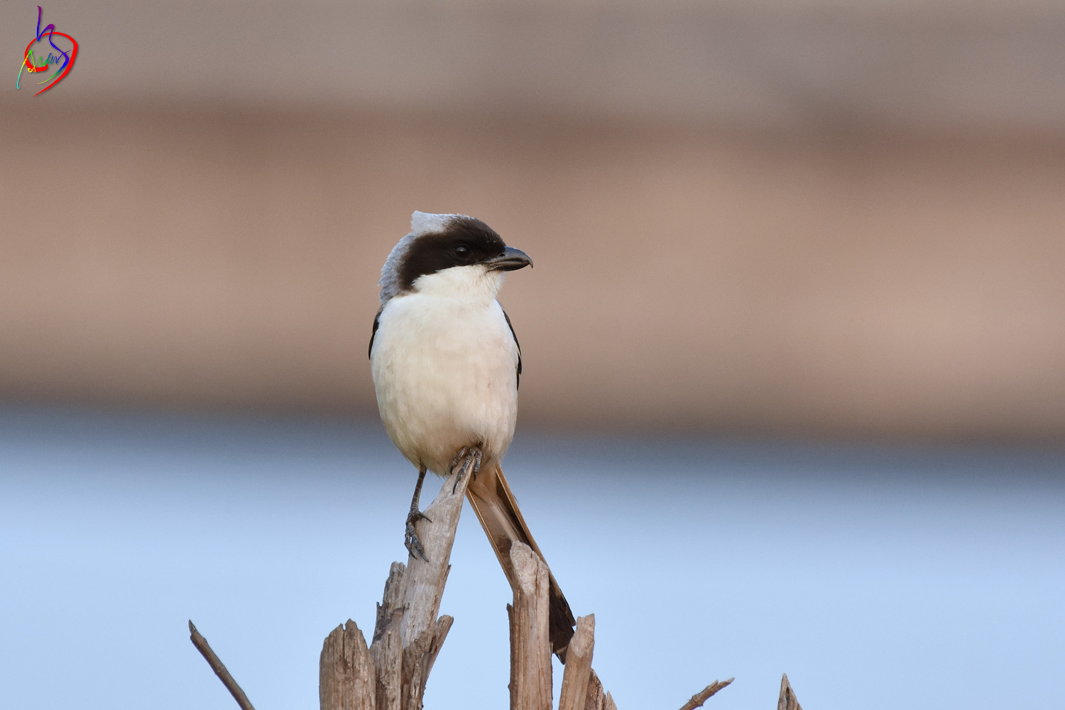 Long-tailed_Shrike_3961