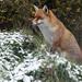 EURASIAN FOX (VULPES VULPES)