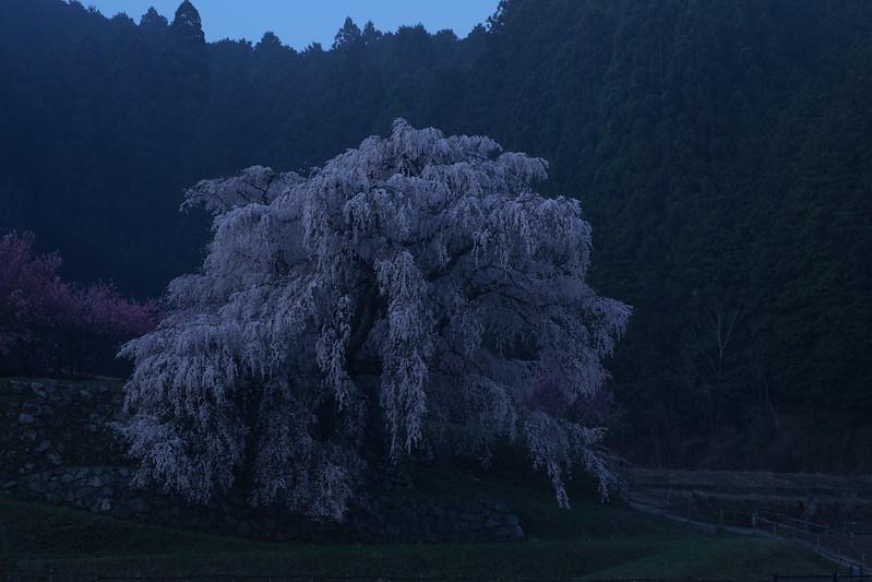 Twilight old cherry tree