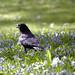 Small photo of Crow in scilla