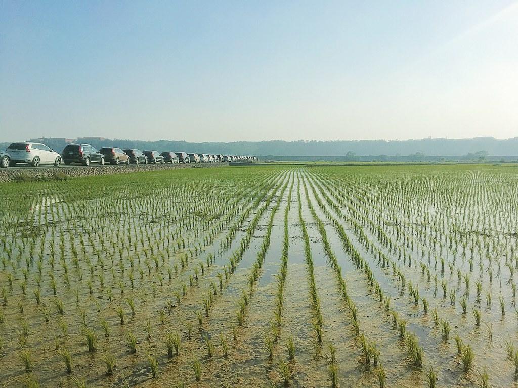 台中景點 一大片稻田,車輛沿田埂停放,看得出來遊客倒是不少 車子排隊