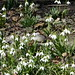 Sparrow amid snowdrop flowers by .JCM.