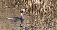 Grèbe huppé - Podiceps cristatus - Great Crested Grebe : Michel NOËL © 2018-3112.jpg