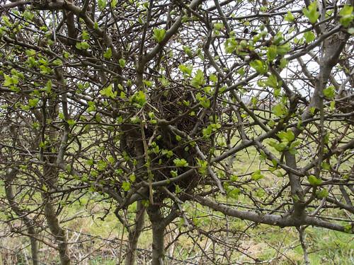 Vogelnest in uitlopende heg