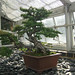 Japanese Larch Bonsai, Kew Gardens, August 2017 (2)