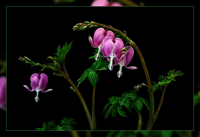 Bleeding hearts  with black cardboard as Background  Today Spring beginning