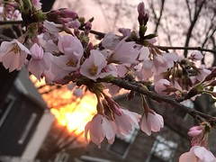Cherry blossoms: good morning sun