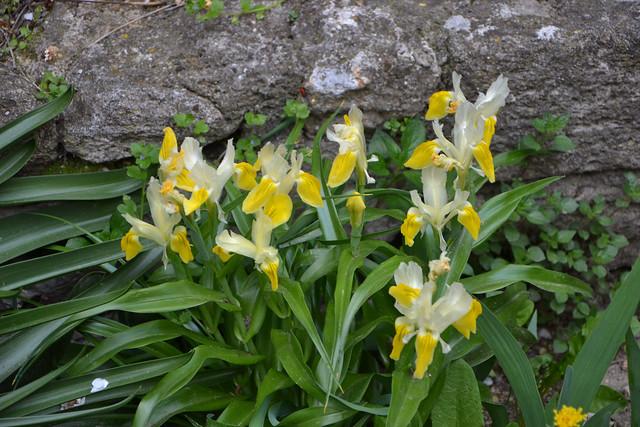 Iris bucharica - Page 2 27399889418_79fc69f132_z