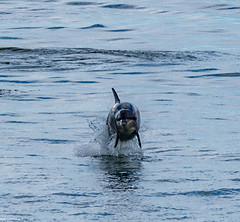 Dolphins Having Fun Off Aberdeen
