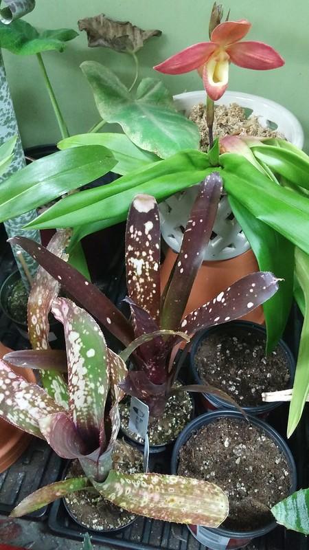 Les orchidées chez Sougriwa - Page 6 39592899730_6d37a57438_c