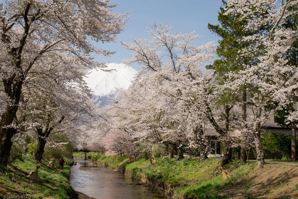 2018-04-13 忍野の桜 001-4