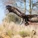 Vulture in flight (ish!) by daveashaw
