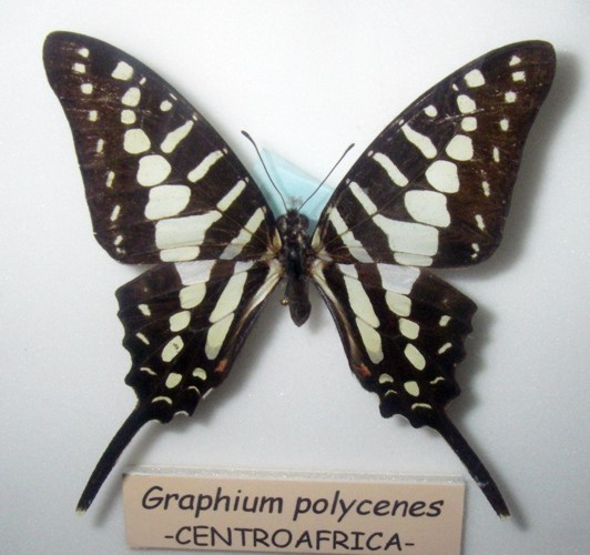 Graphium policenes 40073064715_8e4469b225_o