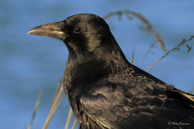 American Crow (Corvus brachyrhynchos) Profile