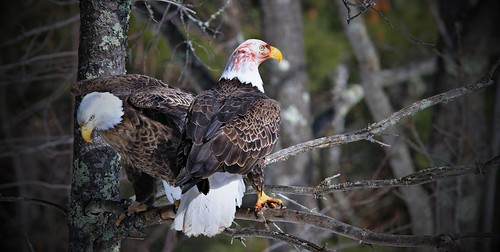 Matched Pair Of Bald Eagles Teal River Chequemagon N.F.