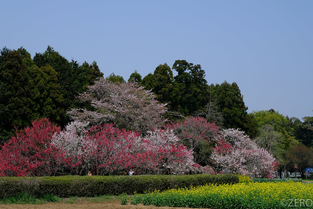 吉高の大桜-0304.jpg